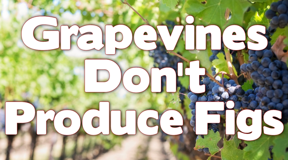 Grapevines Don't ProduceFigs